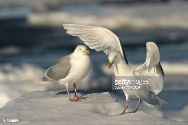 goeland bourgmestre glaucous gull larus hyperboreus goeland bourgmestre glaucous gull larus hyperboreus