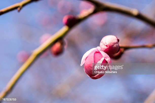 gofuku-shidare - 果樹の花 ストックフォトと画像
