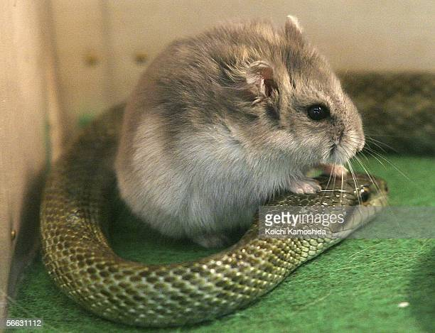 Gohan the hamster and Aochan the rat snake inside their cage at Tokyo Mutsugoro Animal Kingdom on January 20 2006 in Tokyo Japan Gohan meaning 'meal'...