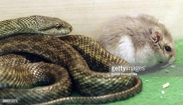 60 Top Rat Snake Pictures, Photos, & Images - Getty Images