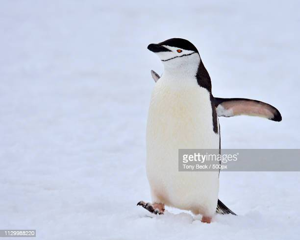 going up - chinstrap penguin stock pictures, royalty-free photos & images