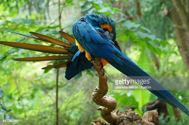 Gold And Blue Macaw Grooming While Perching On Branch