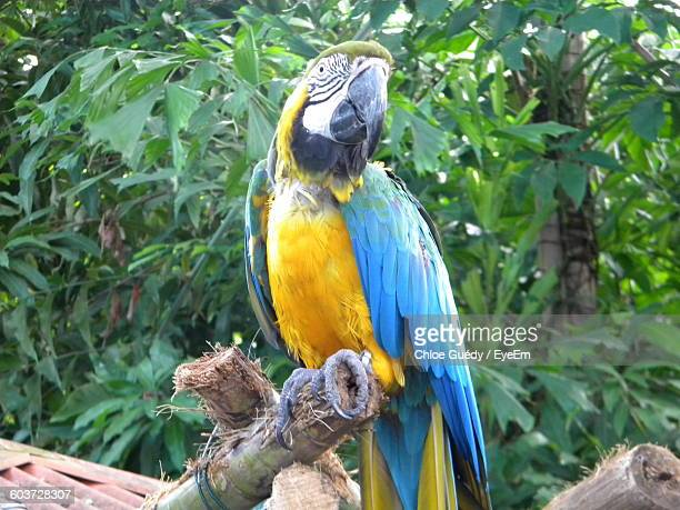 Gold And Blue Macaw Perching On Bamboo