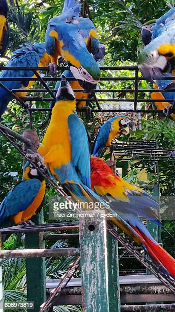 Gold And Blue Macaw Perching On Metal Outdoors