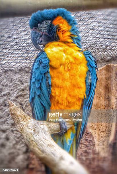 Gold And Blue Macaw Perching On Twig