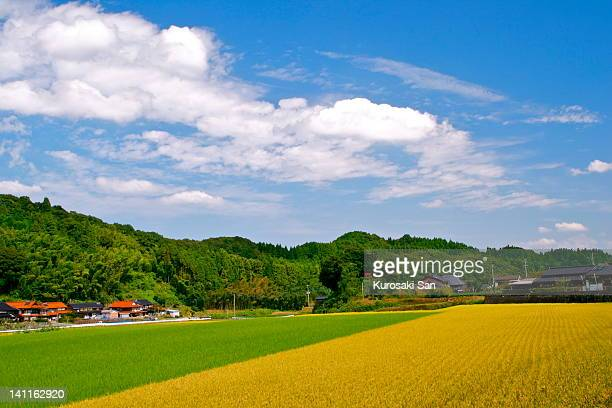 Gold and green carpets of rice fields