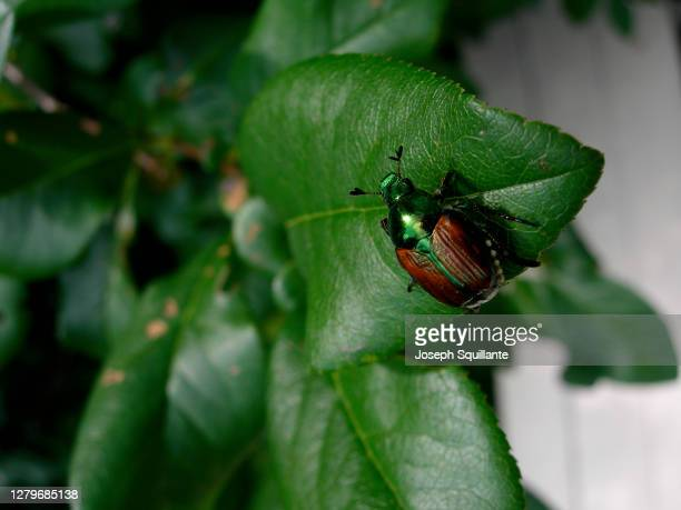 gold bug beetle on leaf - joseph squillante stock pictures, royalty-free photos & images