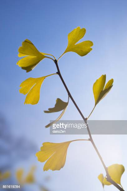 Gold colored autumn leaves of Gingko tree on branch, Munich, Upper Bavaria, Germany
