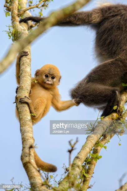 Gold colored dusky leaf monkey