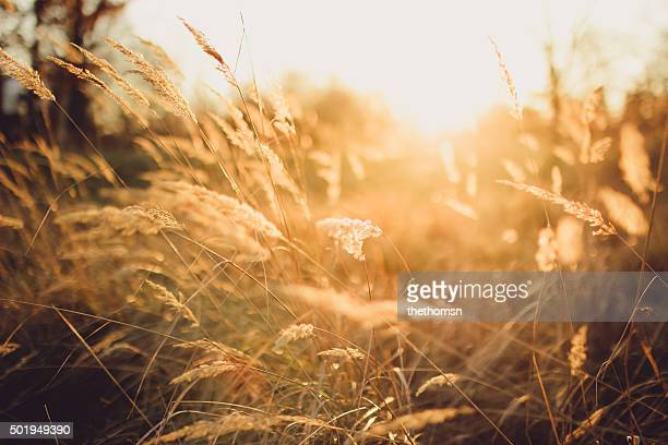 Gold colored grassland and backlight