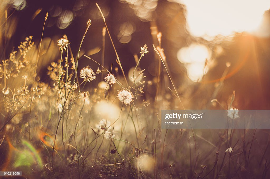 Gold Colored Grassland With Some Blowballs And Perfect Light : Stock Photo