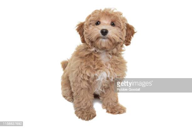 gold coloured cavalier king charles spaniel/poodle mix puppy looking at the camera sitting in front of a white backdrop - young hairy pics stock photos and pictures