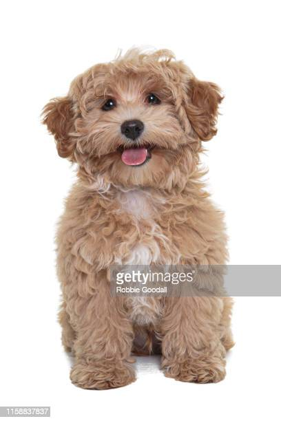 gold coloured cavalier king charles spaniel/poodle mix puppy looking at the camera sitting in front of a white backdrop - cavalier king charles spaniel stock pictures, royalty-free photos & images