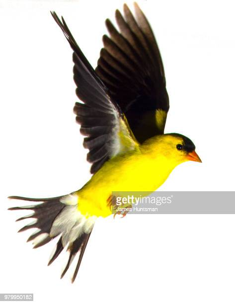gold fench - american goldfinch stock pictures, royalty-free photos & images