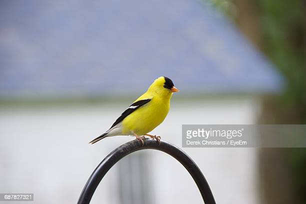Gold Finch Perching On Arch Shaped Metal