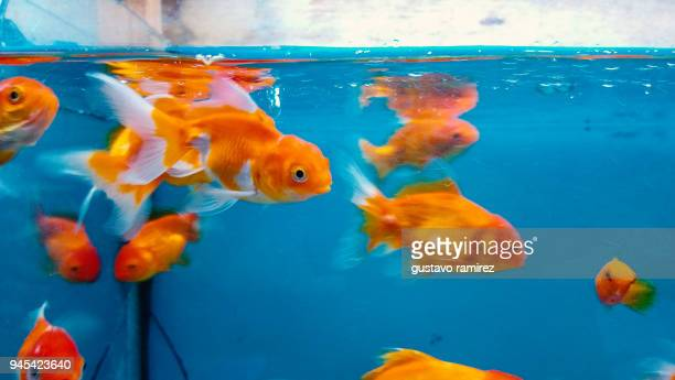 gold fish inside blue fishbowl