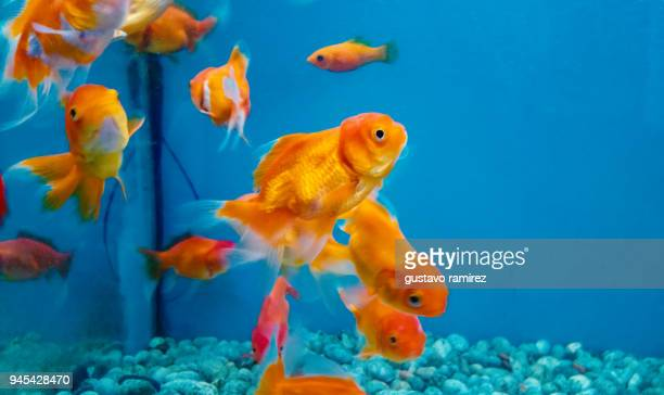 gold fish inside blue fishbowl - lima animal stock pictures, royalty-free photos & images