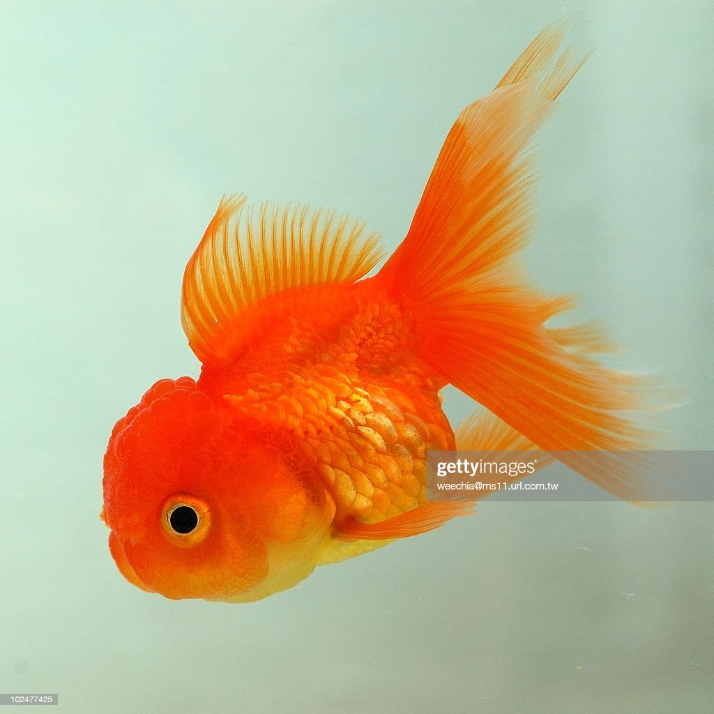 Gold fish : Stock Photo