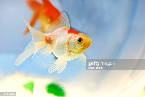 gold fish - goldfish stock pictures, royalty-free photos & images