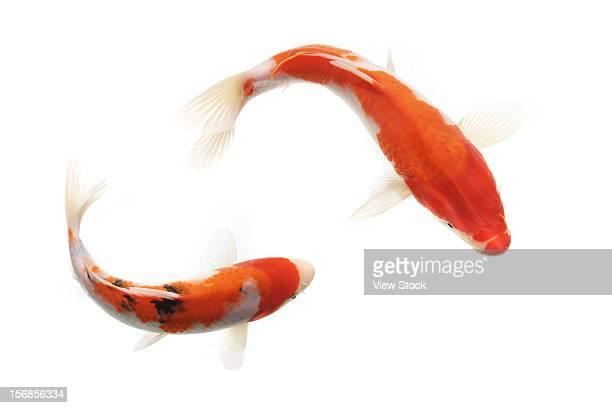 gold fish - koi carp - fotografias e filmes do acervo