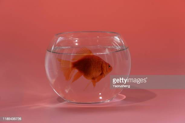 gold fish with fishbowl isolation on the white background - white gold stock pictures, royalty-free photos & images