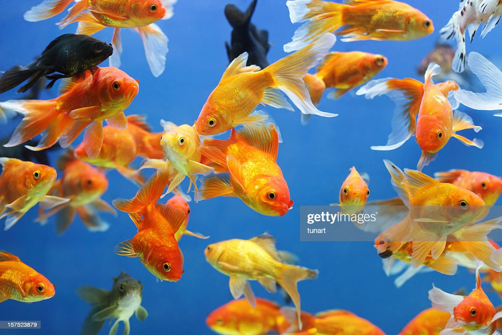 Gold Fishes : Stock Photo