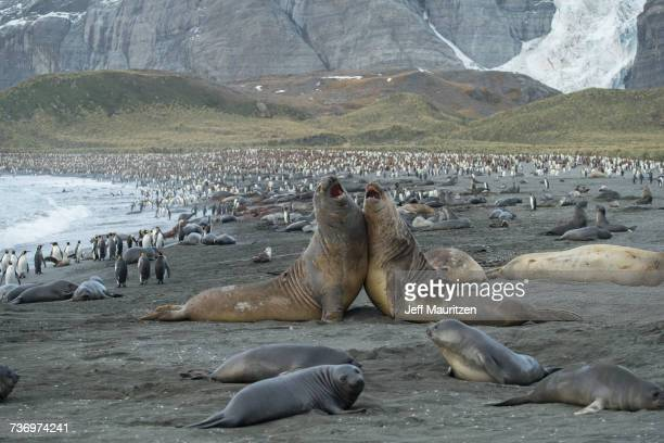 Adult male southern elephant seals fight along the shore at Gold Harbour.