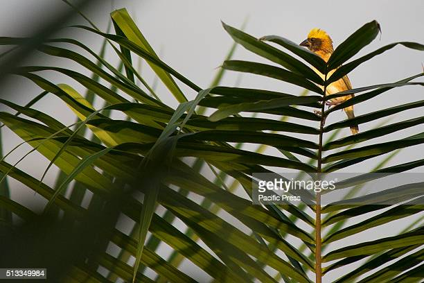 Gold Manyar bird golden yellow color throughout the body medium size and streaked weaver very fond of grains