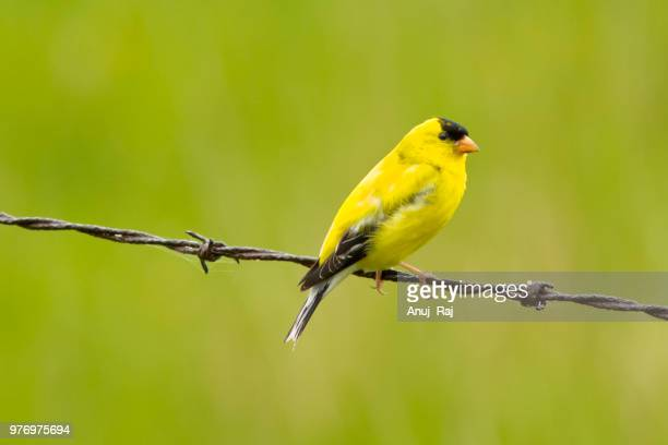 gold on the fence - american goldfinch stock pictures, royalty-free photos & images