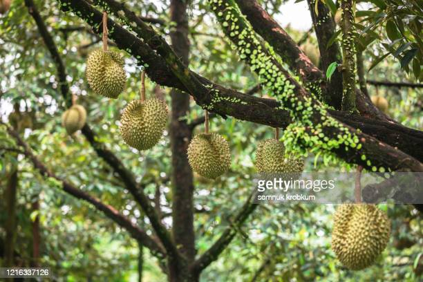 gold pillow durian - durian stock pictures, royalty-free photos & images