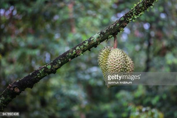 gold pillow durian - tree with thorns on trunk stock photos and pictures
