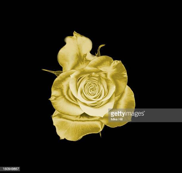 Gold rose on black a background