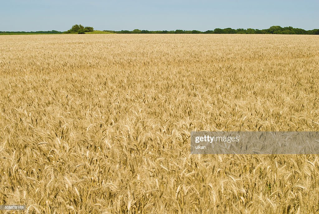 Gold wheat field and blue sky : Stockfoto