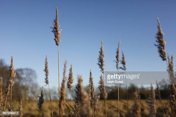 gold-colored reed beds in the fall and autumn - mark dyball stock photos and pictures