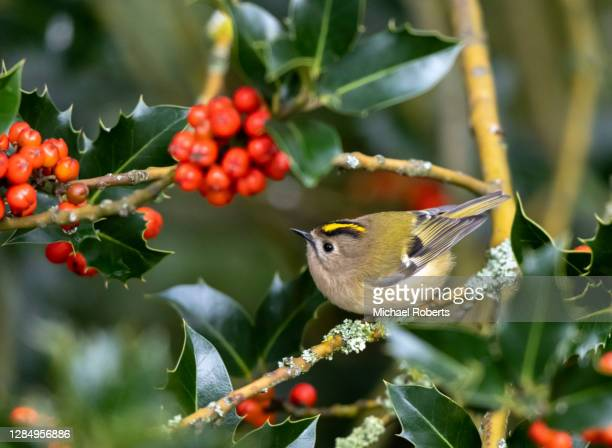 goldcrest (regulus regulus) feeding in holly tree - michael holly stock pictures, royalty-free photos & images