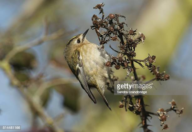 Goldcrest (Regulus regulus) hunting for insects.