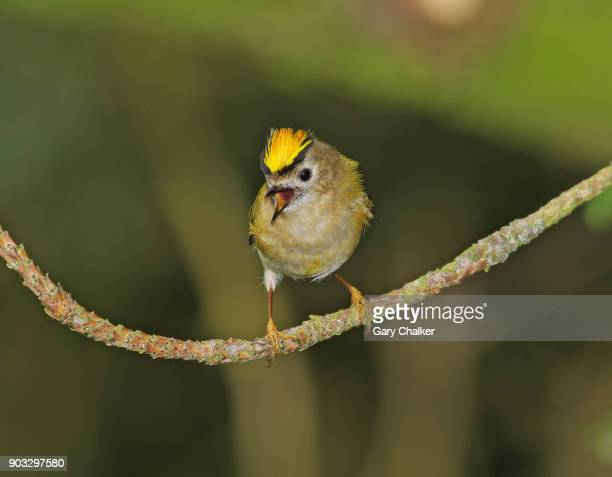 goldcrest [regulus regulus] - birdsong stock pictures, royalty-free photos & images