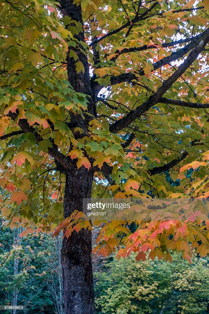 Goldeen Autumn Tree 5 : Stock Photo