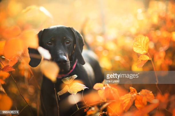 golden afternoon - black labrador stock pictures, royalty-free photos & images