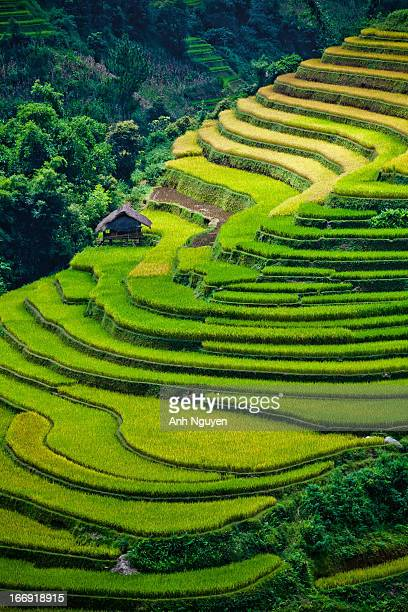 CONTENT] Golden and green paddies of rice terraces in Mu Cang Chai Yen Bai Province North Vietnam nearly the peak of harvest season in September The...