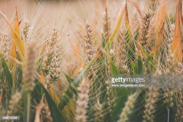Golden and green wheat field