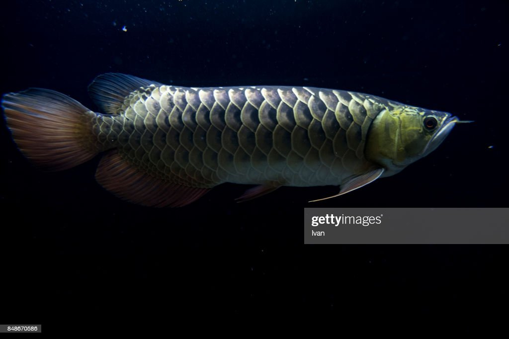 black-cock-mature-dragon-fish
