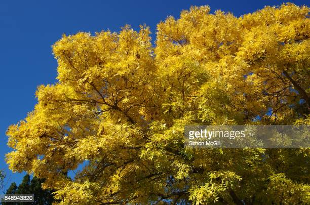 Golden Ash tree displays yellow leaves during autumn in Canberra, Australian Capital Territory, Australia