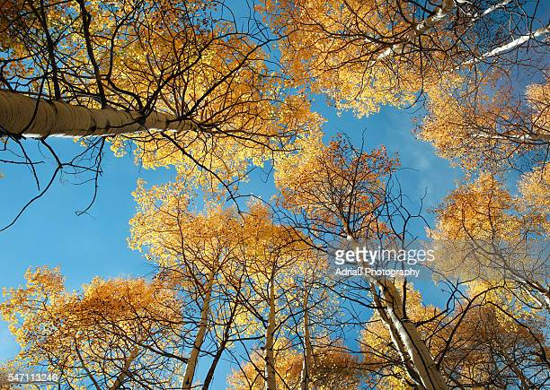 Golden aspen tree canopy