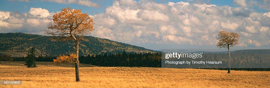 Golden Aspen Trees : Stock Photo