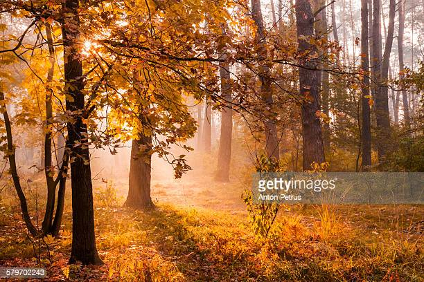 Golden autumn in a sunny forest.