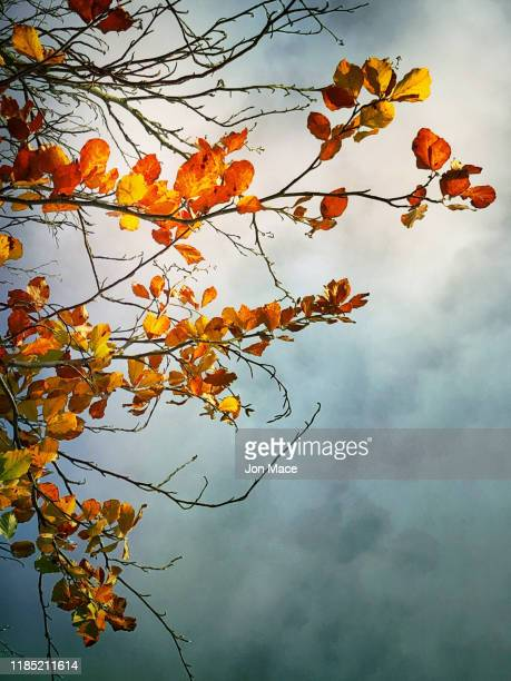 golden autumn leaves glowing against a cold and moody sky - september stock pictures, royalty-free photos & images