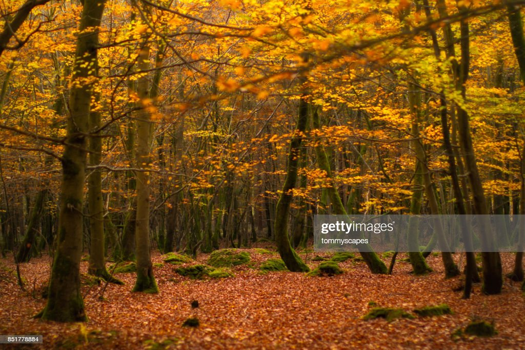 Golden autumn leaves on trees and forest floor : Stock Photo