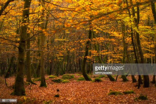 Golden autumn leaves on trees and forest floor