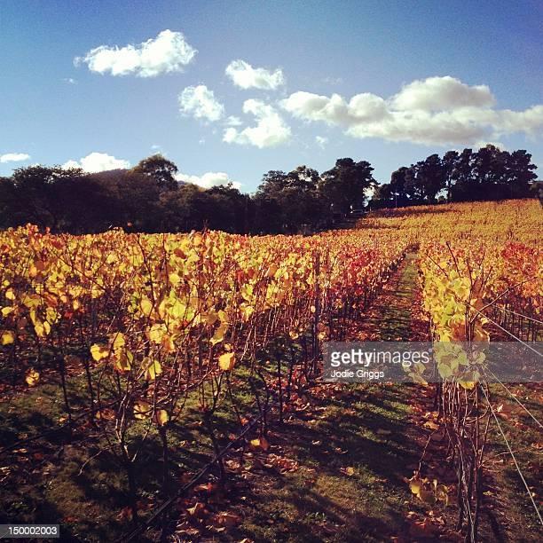 Golden autumn on grapevines